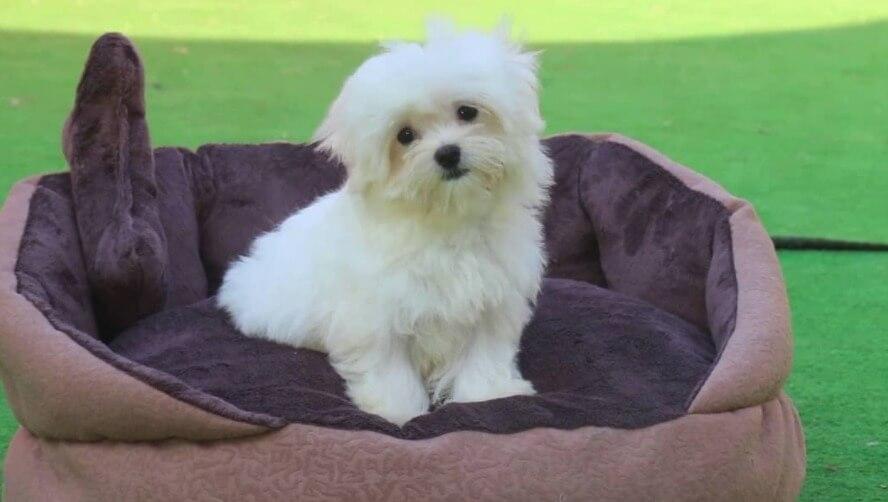 Maltese Terrier Hakkında Çok Bilinmeyen 15 İlginç Bilgi