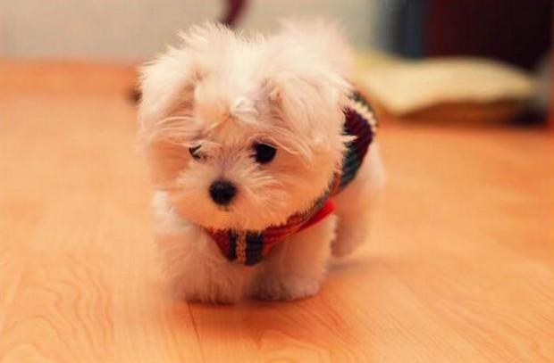 Maltese Terrier Hakkında Çok Bilinmeyen 10 İlginç Bilgi