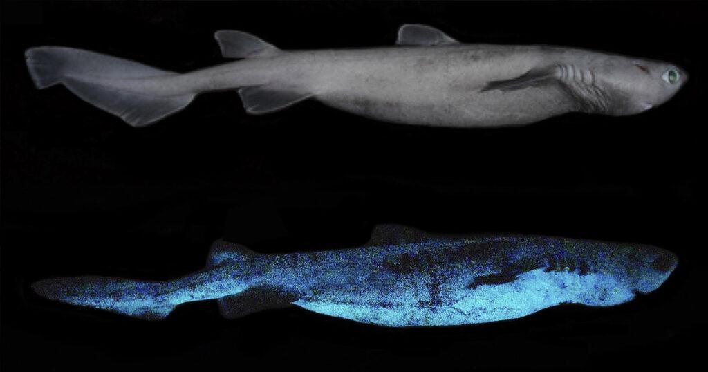 Bilim adamları Karanlıkta Parlayan Köpekbalıklarını Keşfedin