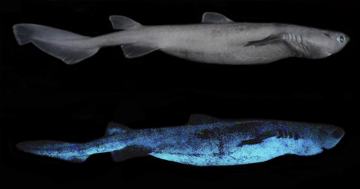 Yeni Zelanda Açıklarında Işık Saçan Köpek Balıkları Keşfedildi